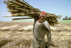 Sugar cane worker on farm Kwazulu Natal, South Africa, Sugar, Colour, World, The World, Color, Calla Lily, Colors