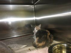 """""""Sew"""" is a sweet/adorable kitty scheduled for EUTHANIZING today 10/15/13 (cat in pic was rescued)  You can get more info on Urgent Cats of Tampa Bay's Facebook page  Thank You!!!"""