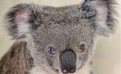 Der süße Koalabär hat genau wie die Musiklegende zwei verschiedenfarbige Augen.Eines ist blau und eines ist braun: Die Pfleger des Koalas wussten sofort, dass der Bär etwas ganz Besonderes ist, eben genau wie sein Namensvetter David Bowie. Wegen ihrer verschiedenfarbigen Augen benannten sie die Koala-Dame nach dem verstorbenen Sänger, der ebenfalls eine Heterochromie der Iris hatte, was auf eine Pigmentierungsstörung zurückzuführen ist…