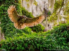 """""""Great Horned Owl Returning"""" Robert Strickland While it might look as though this photo was taken deep in the forest, away from any sort of civilization, it was actually taken in an urban area of Florida. It's a reminder that breathtaking things can be found all around us if we know to look for them."""