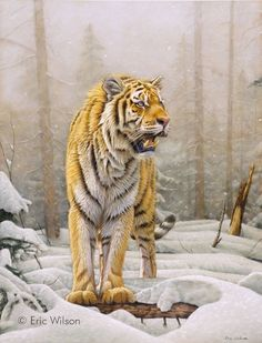 Amur ( Siberian ) Tiger in the snow. Pastel 19 x 25 inches. Original Sold. Pastel painting of a tiger.