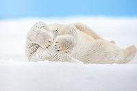 Polar bear rolls in snow to clean fur   AlaskaPhotoGraphics.com