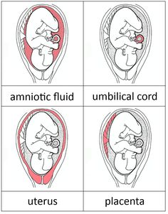 Parts of the womb and fetal development 3-part cards...