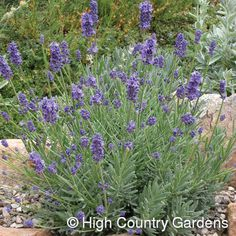 """Lavandula Thumbelina Leigh ---12-15"""" x 18"""" wide. (Cutting Propagated.) What an incredible dwarf English Lavender! 'Thumbelina Leigh' is very showy with its deep purple-blue calyxes and dark lavender flowers held on sturdy, well-branched stems. Nice blue-green foliage.     A heavy bloomer with plump, compact flower heads, its compact size makes it useful as an edging plant along paths, in rock gardens or mixed with other taller lavender cultivars."""