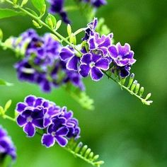 Duranta Repens, Sky Flower, Sky Flower is a lush cascading upright shrub with clusters of fragrant blue blooms and bright golden berries. The fragrant flowers have a vanilla/lavender scent. They're in