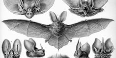 Haeckel_Chiroaptera