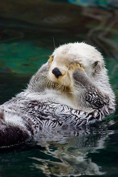Sea Otter doesn't want to see bad things Otters Cute, Baby Otters, Baby Sloth, Cute Little Animals, Cute Funny Animals, Otter Love, Tier Fotos, Cute Animal Pictures, Cute Creatures