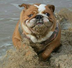 Bulldogs love the beach