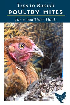 Chicken Mites: Prevention and Treatment There's nothing worse than finding bugs all over your birds! We've been there, here's our suggestions for preventing and treating poultry mites. Raising Meat Chickens, Raising Backyard Chickens, Keeping Chickens, Mites On Chickens, Backyard Poultry, Rabbits, Building A Chicken Coop, Diy Chicken Coop, Chicken Land