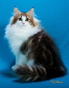 LOVELY NORWEGIAN FOREST CAT - CHAMPION SHOW CAT