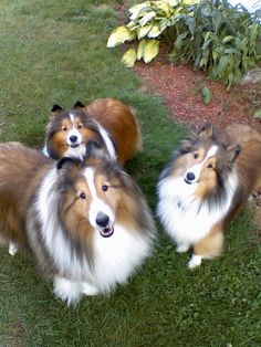 Shetland Sheepdogs.  I used to think these were miniature collies.  :)