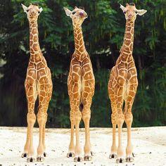3 Baby Giraffes