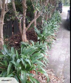 NZ native Renga Renga Plant along boundary hedge Shade Plants, Cool Plants, Yard Landscaping, Landscaping Design, Front Yard Design, Planting Plan, Corner Garden, Garden Landscape Design, Garden Borders