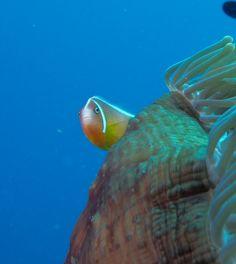 Clown fish watching