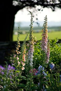 Foxgloves are the quintessential English cottage garden flower. (The Old Rectory, Haselbech, Northamptonshire) Foxgloves are the quintessential English cottage garden flower. (The Old Rectory, Haselbech, Northamptonshire) Beautiful Gardens, Beautiful Flowers, Colorful Flowers, Unique Garden, English Garden Design, English Country Gardens, Garden Cottage, Farmhouse Garden, Farm Cottage