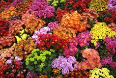 """""""Mum"""" is Not the Only Word – #5 Flowers To Plant To Add Color To Your Fall Garden."""