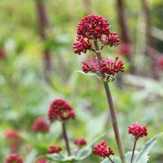 10 plants that do well on sandy soil - GroenVandaag , Love Garden, Green Garden, Garden Plants, House Plants, Alocasia Plant, Stipa, Backyard Plan, Sandy Soil, Colorful Garden