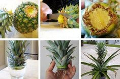 How To Grow A Pineapple Indoors - Bepflanzung Ripe Pineapple, Pineapple Planting, Pineapple Images, Potted Plants, Garden Plants, Indoor Plants, Tropical Fruits, Tropical Plants, Multiplication Végétative