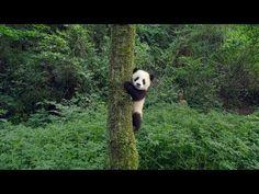 'Pandas' - IMAX Documentary