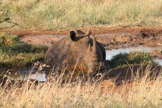 Safari - rinoceronte