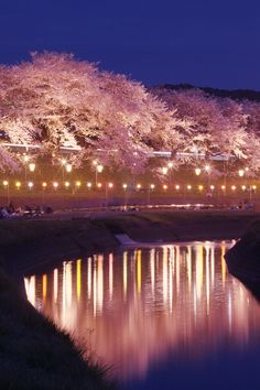 Cherry blossoms/桜