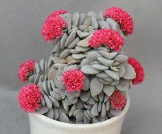 Crassula morgans beauty