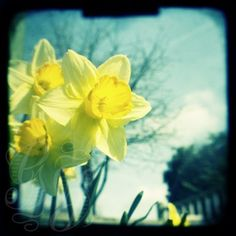 Enjoy spring all year round! An unframed photographic print featuring yellow daffodils in front of a blue sky. Signed on the back.  This vintage inspired print has been taken using a technique called ttv (through the viewfinder). I use an original 1940s camera ... so the dust, scratches, blur and flaws are all part of the original images. The image provided here is of reduced resolution. The print you receive will be of higher resolution and will not feature the watermark. It also has a 5 mm…