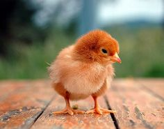 Baby Chick ♥