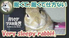 眠くて、眠くて仕方ない【ウサギのだいだい 】Very sleepy rabbit. 2016年6月16日