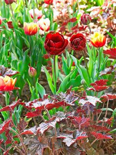 'Palace Purple' coralbells are perfect with the double late tulips  'Uncle Tom' tulips. bhg.com