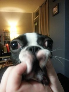 Have you squished your Boston Terrier's face today? http://www.bterrier.com/squished-face-of-a-boston-terrier-dog/