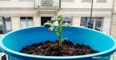 Kartoffeln im Eimer anbauen, so klappt es sogar in der Wohnung