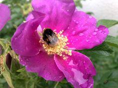 Insektenhabitat Apfelrose