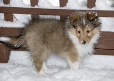 Cute Sheltie!