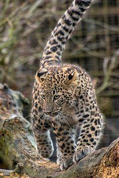 FlickrLeopard by Jens Stenneken**