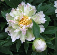 Chinese Peony 'Green Lotus' (Paeonia lactiflora)