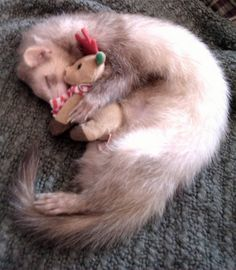 Zzzz...Peanut Butter the ferret