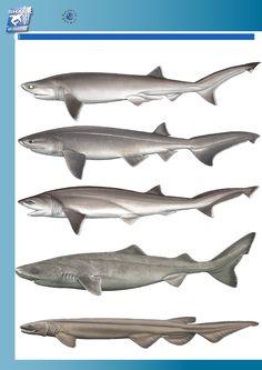 Sharks of the North Atlantic: Bigeye Sixgill Shark (Hexanchus nakamurai), Bluntnose Sixgill Shark (Hexanchus griseus), Sharpnose Sevengill Shark (Heptranchias perlo), Greenland Shark (Somniosus microcephalus), and Frilled Shark (Chlamydoselachus anguineus). Images not to scale
