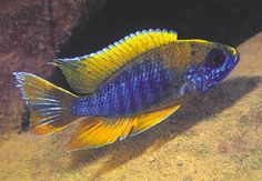 Cichlids with a sixth sense Malawi Cichlids, African Cichlids, Marine Aquarium, Glass Aquarium, Tropical Aquarium, Tropical Fish, Rare Fish, Marine Tank, Freshwater Aquarium Fish