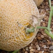 Page of information about growing Cantaloupe. The yellow-buff color of the rind tells that this Hale's Best variety of cantaloupe is ripe. Growing Cantaloupe, Growing Melons, How To Grow Cantaloupe, Growing Veggies, Fruit Garden, Edible Garden, Vegetable Garden, Gardening Vegetables, Gardens