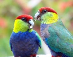 Image result for red capped parrot