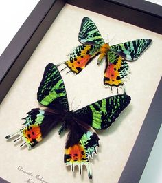 Chrysiridia Madagascarensis or Urania rypheus The Sunset moth Pair insect conservation Display