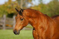 Freeland Farms Arabian Horse Photo Gallery - Adiyat Santa Fe