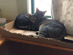 Richard Parker and pebbles cuddle so much it's hard to tell who is who half the time! #aww #cute #cutecats #catsofpinterest #cuddle #fluffy #animals #pets #bestfriend #boopthesnoot