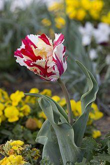 Jerusalem+Tulip   Unusual and Weird Flowers   strange true facts strange weird stuff ...