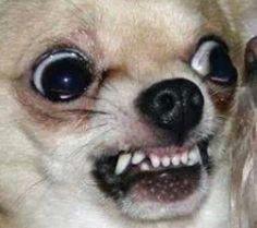 Mean Chihuahua memes Memes Humor, Funny Dog Memes, Cat Memes, Funny Dogs, Cute Dogs, Cute Animal Memes, Animal Jokes, Cute Funny Animals, Cute Baby Animals