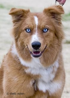Australian Shepherd -- Love the eyes!