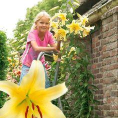 Gigantické stromkové lilie 'Honeymoon' Oriental Lily, Google, Lilies
