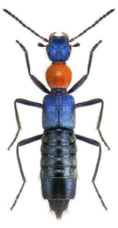 Paederidus ruficollis