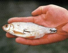 Pike Fishing, Fishing Rigs, Fishing Knots, Facts About Fish, Fishing Accessories, Sea Fish, Funny Animals, Hardcore, Shirts